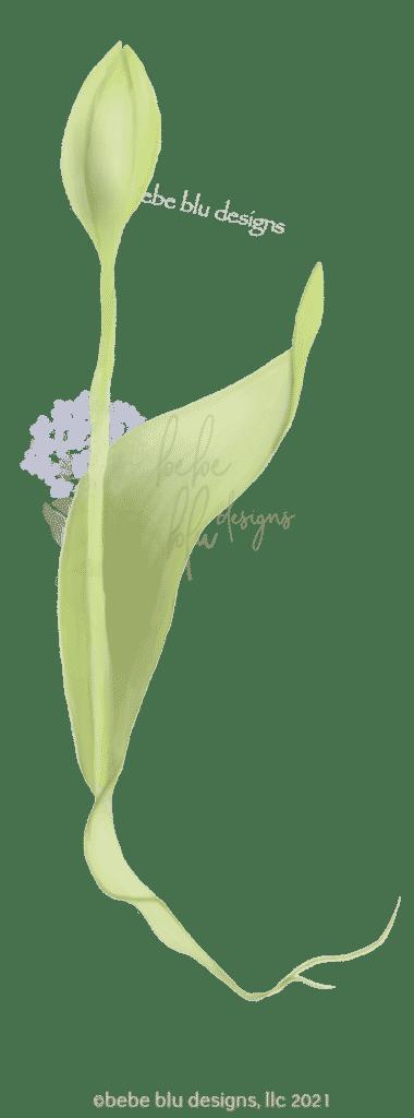Tulip buddingb3