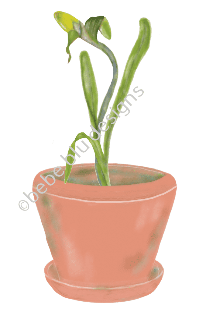 Narcissus in Clay Pot