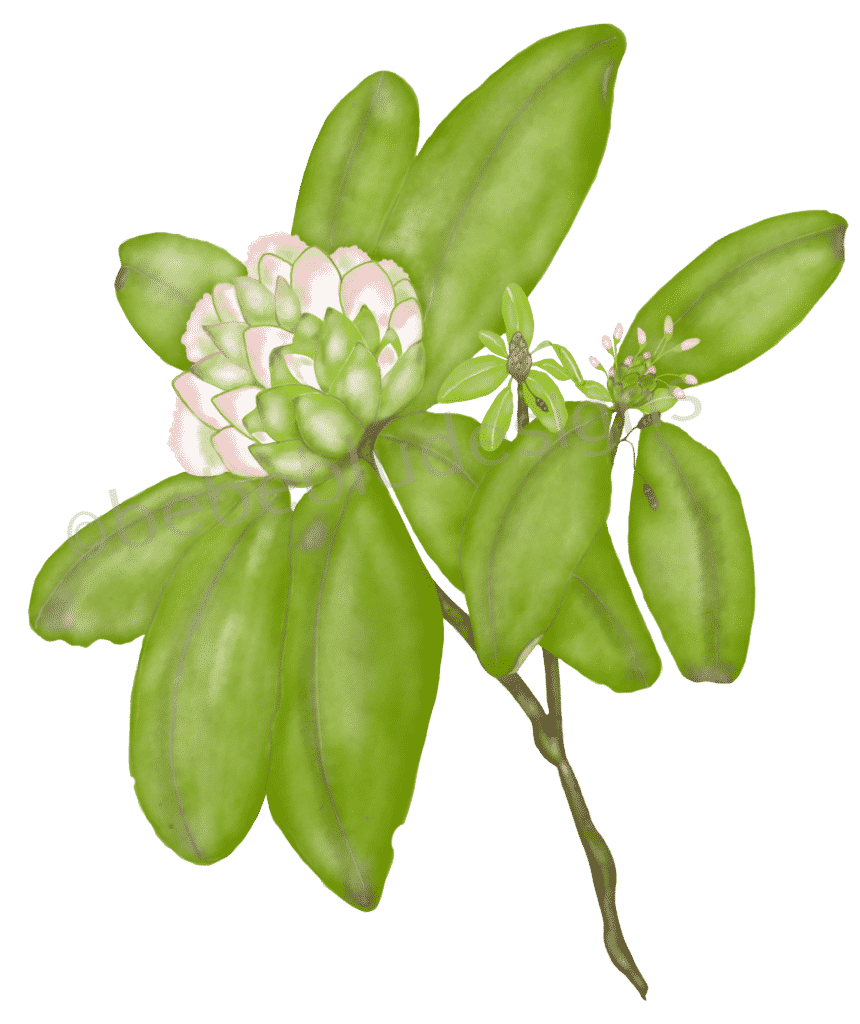rhododendron USE old ipad